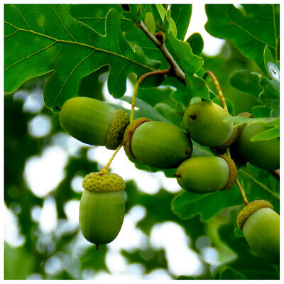 20 English Oak Trees 2-3ft Quercus Robur,Native Hedge Tree 60-90cm,Grow Acorns