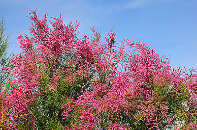 Tamarix tetrandra / Tamarisk / Salt Cedar, 2-3ft Tall, Stunning Flowering Shrub