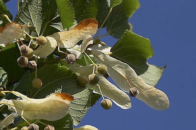 25 Small-leaved Lime / Tilia Cordata, 2-3ft Tall  With a Rich Scent