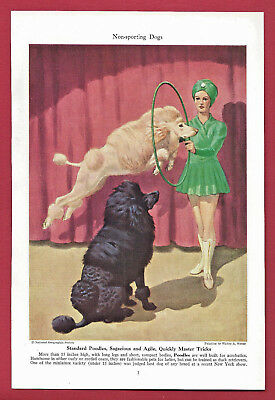 1943 Dog Print Illustration~ STANDARD POODLE ~ Agile, Smart ~Art by Walter Weber