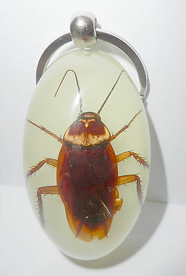 Insect Large Key Ring American Cockroach Periplaneta americana Specimen Glow