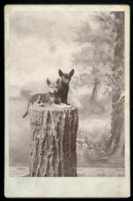 2 SMALL SHORT HAIR DOGS PERKED EARS SITTING ON STUMP 1880s CABINET CARD PHOTO