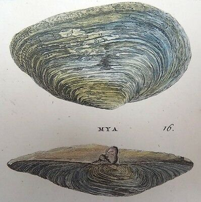 1768 Pennant - BIVALVE SHELL MYAS fine QUARTO large paper edition in hand colour