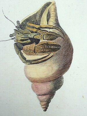 1768 Pennant - HERMIT CRAB - fine QUARTO large paper edition in hand colour