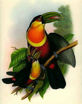 Old GOULD Litho Art Print Exotic Jungle Bird Red Breasted Green Billed TOUCAN