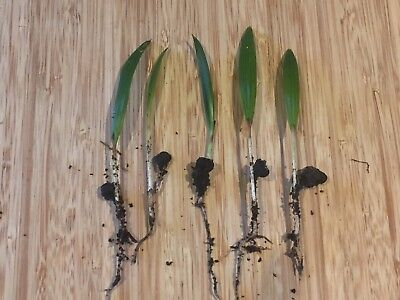 Trachycarpus fortunei Seedlings X 10
