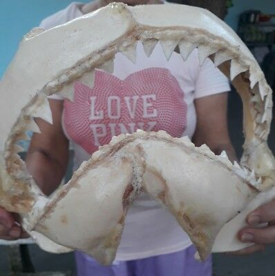 GREAT WHITE SHARK JAW fossil Teeth Tooth taxidermy strange HOME DECOR T8
