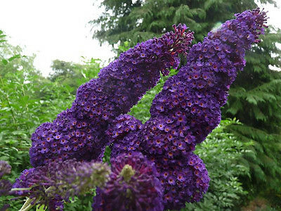 1 Buddleia davidii 'Black Knight' In 9cm Pot Stunning Buddleja Butterfly Bush
