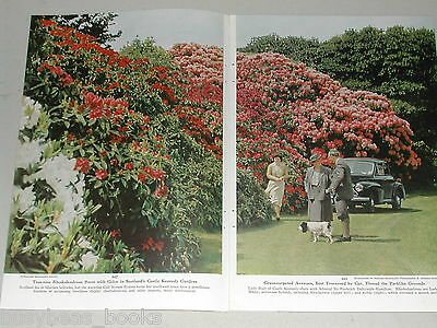 1954 magazine article, Rhododendron in Scotland, flowers