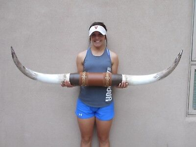 Mounted Steer Long Horn  4' Feet Wide Longhorn Polished Bull Horns Cow