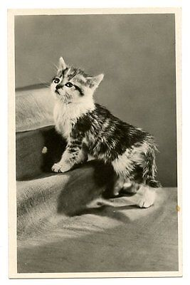 vintage cat postcard real photo gorgeous kitten cat posing on stairs