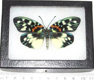 Real Framed Day Flying Moth Green Erasmia Pulchera