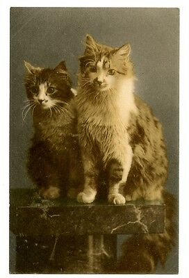 vintage cat postcard beautiful pair longhaired cats pose on table