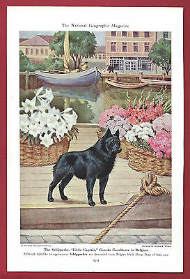 "1943 Dog Print Illustration ~ SCHIPPERKE ~ ""Little Captain"" ~Art by Walter Weber"