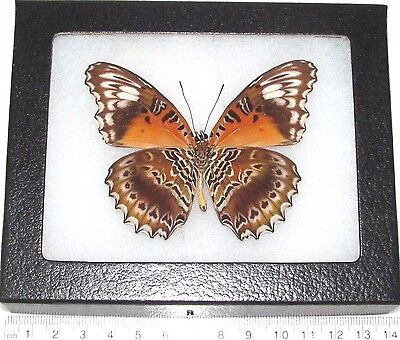 Real Framed Butterfly Cethosia Cydippe Verso Indonesia