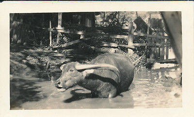 1944 WWII  a water buffalo in the water Hawaii photo