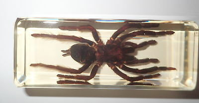Golden Earth Tiger Tarantula Spider Specimen in 110x43x30 mm Amber Clear Block