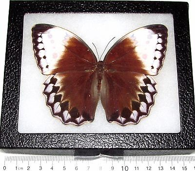 Real Framed Butterfly Stichophthalma Vietnam Brown Form