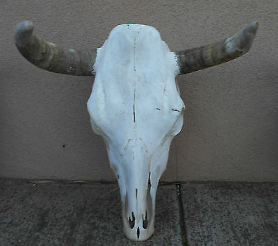 "A NEW 17"" wide STEER SKULL HORN,LONGHORN,cow,bull,Mexico,FEED taxidermy,BIG head"