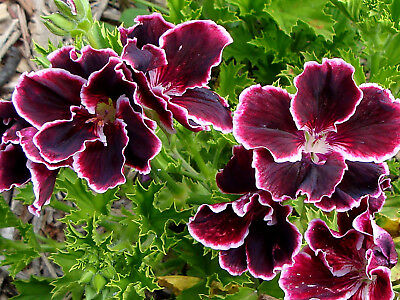 PELARGONIUM GERANIUM PLANT VIVIANNA  PICK UP  (read listing for postage costs)