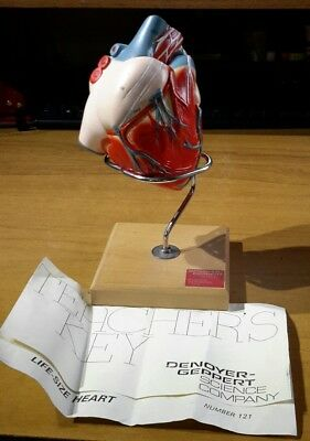 Denoyer Geppert Life-Size Heart Anatomical Model 2 part handpainted