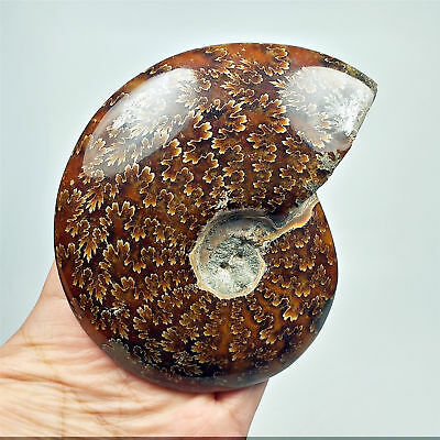 107mm 280g Whole AMMONITE Fossil Sutured Patterns Madagascar 9288