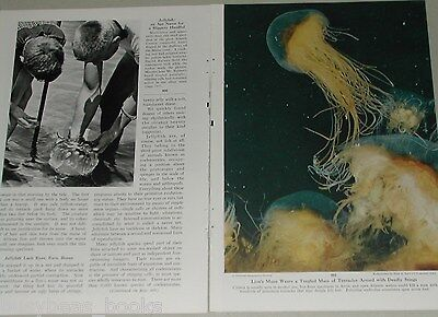 1955 magazine article about Jellyfish, Lion's Mane, Moon Jelly, Bell Jellies etc