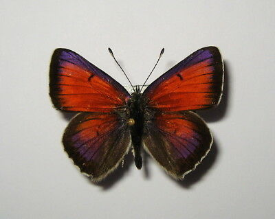 LYCAENIDAE  LYCAENA CANDENS , MALE from BULGARIA