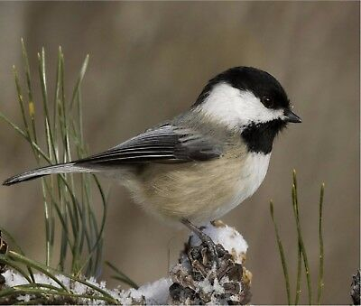 CHICKADEE BIRD IN THE SNOW COMPUTER MOUSE PAD  9 x 7