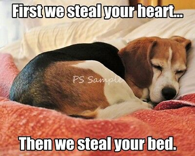 BEAGLE Steals Hearts Funny Magnet 3.75 x 3 inches