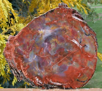 "SiS: HYPNOTIC GLOWING RAINBOW 13""+ Arizona Petrified Wood Slab -Fossil Araucaria"