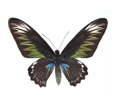 One Real Trogonoptera Brookiana Female Green Black Raja Birdwing Wings Closed
