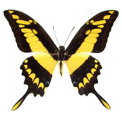 One Real Butterfly Yellow Papilio Heraclides Thoas Swallowtail Wings Closed