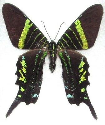 One Real Day Flying Moth Green Urania Fulgens Unmounted Wings Closed