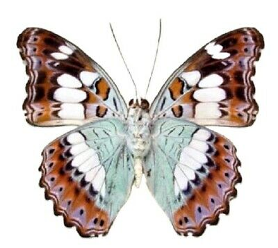 One Real Butterfly Blue Green Moduza Procris Unmounted Wings Closed