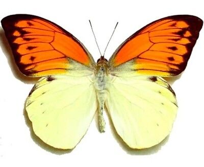 One Real Butterfly Orange Tip Hebomoia Leucippe Unmounted Wings Closed