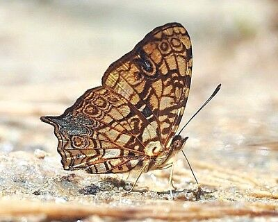 One Real Butterfly Symbrenthia Hypatia Unmounted Wings Closed