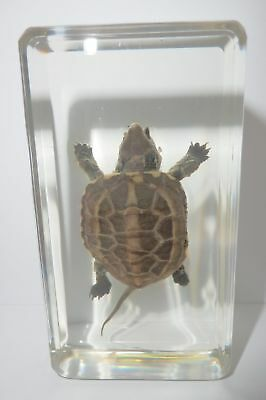 Farmed Turtle in 73x40x20 mm Clear Paperweight Education Animal Specimen