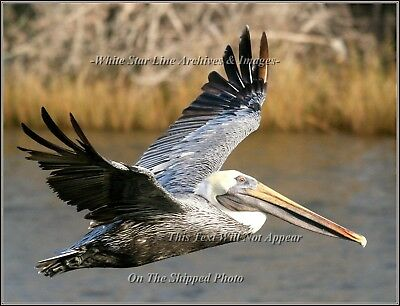 Photo: INCREDIBLE PELICAN SERIES: Bayou Bird: Louisiana Bayou, 2006