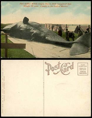 Port Arthur WHALE Fish, Caught March 1910 in Gulf of Mexico Fishery Old Postcard
