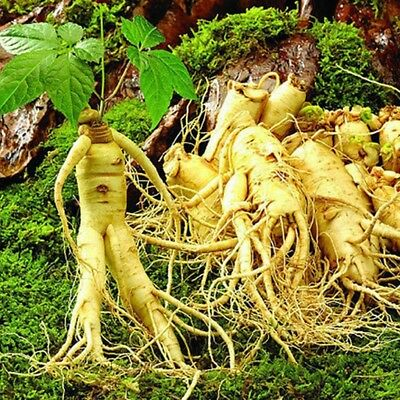 50Pcs Panax Ginseng Seeds Asian Fresh For Planting Nutrition Home Plant Seed Hot