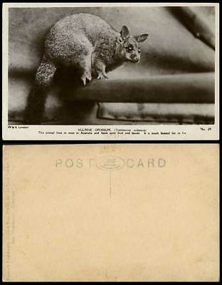 VULPINE OPOSSUM Australia Animals Lives in Trees Hunted for Fur Old RP Postcard