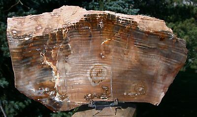 "SiS: MAGNIFICENT 10""+ Oregon Petrified Wood Specimen - GIANT SEQUOIA GEM WOOD!"