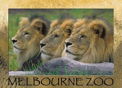 Melbourne Zoo with lions postcard in mint, unused condition