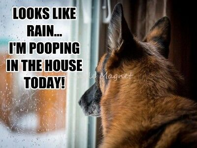 "GERMAN SHEPHERD Pooping in the House Today Funny Fridge Magnet 4"" x 3"""