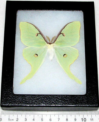 Real Framed Green North American Actias Lunesta Luna Moth