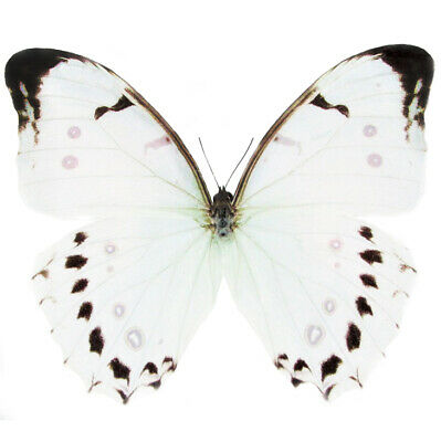One Real Butterfly White Morpho Luna Unmounted Wings Closed