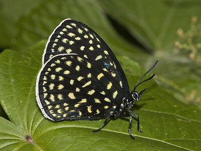One Real Butterfly Blue Green Spotted Eumaeus Childrenae Unmounted Wings Closed