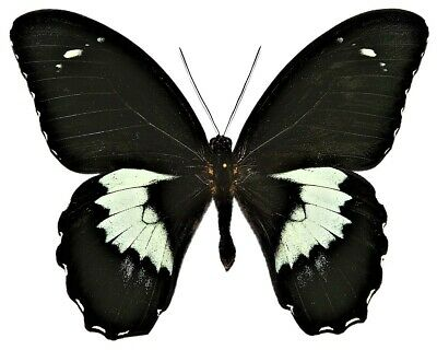 One Real Butterfly Black White Papilio Gambrisius Unmounted Wings Closed