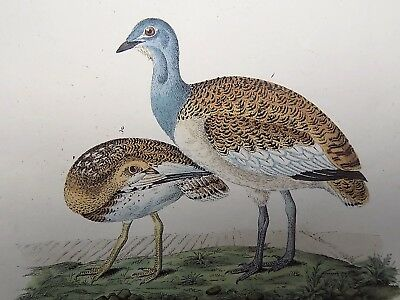 1851 PARTRIDGE BUSTARD Kjærbølling - HUGE 37 cm hand coloured engraving